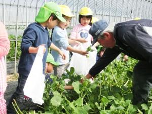 摘み取り方を園児に教える今野代表理事