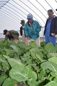 つぼみ菜の生育状況を確認する部会員