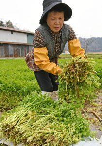 春セリの収穫作業