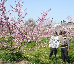 桃の花宮戸島を舞う