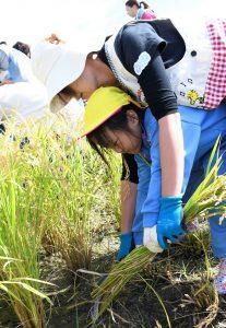 先生と協力して一生懸命に稲を刈る園児