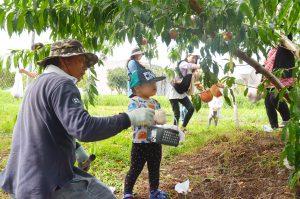 たわわに実った桃を収穫しようとする子ども
